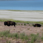 Büffel auf Antelope Island