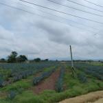 Agavenfelder wohin man schaut