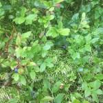 Heidelbeeren sind reif - lecker