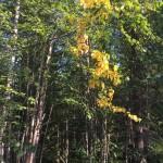die ersten gelben Blätter